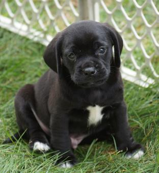 Baby Black Puggle Boy