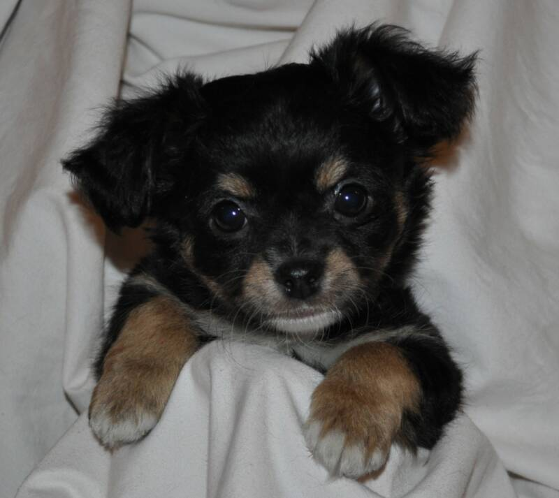 black long hair chihuahua puppies. Long Haired Chihuahua Puppy