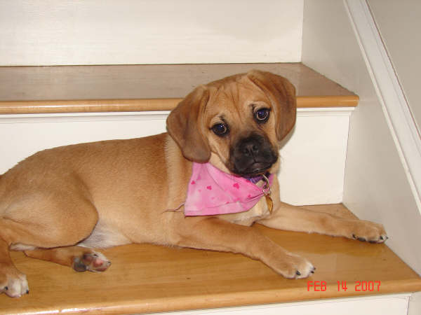 Gracey is one of our first Puggles born here in Loudon, NH. She is a light colored Fawn w/ Black Mask