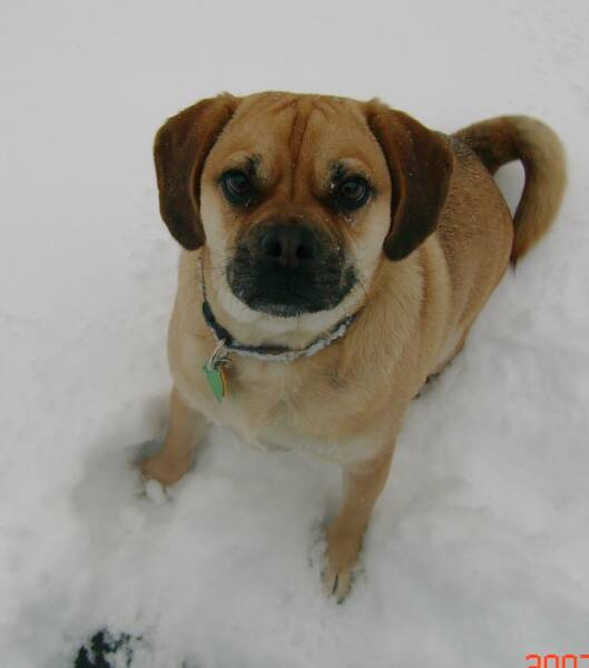Here is Max one of our past Puggles playing in the snow.