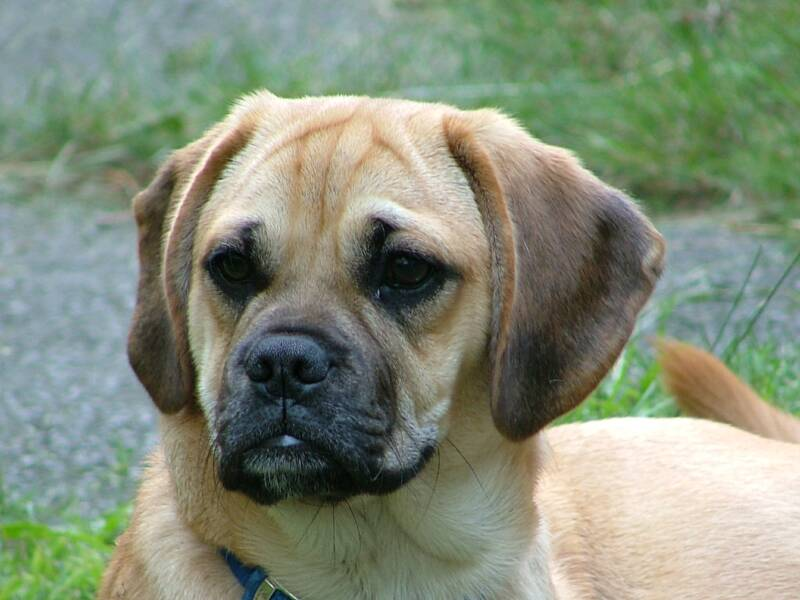 Dobby a male Puggle, favorite pass time is enjoying his family by the Lake side.