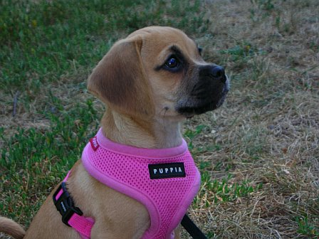 This little Puggle Honey is showing off her new harnest, a great addition to the family she was.