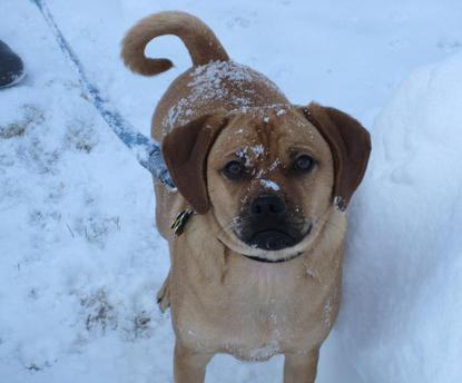 Puggle Playing in Snow