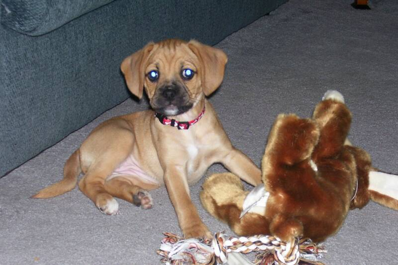 Puggle Puppy playing with Toys